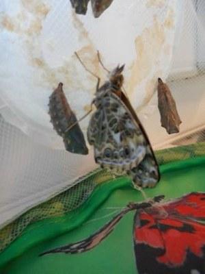 Arrivée des papillons MS 12