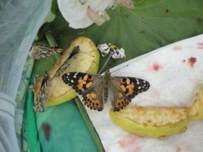 Laché des papillons MS 16